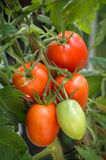 Branch growing tomatoes plum varieties Stock Image