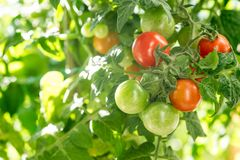 Branch growing tomatoes Stock Images