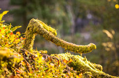 Branch grown with moss in forest Royalty Free Stock Image