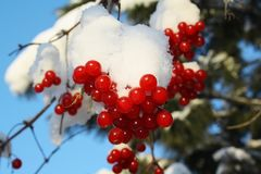 Branch of a guelder-rose with berries Stock Images