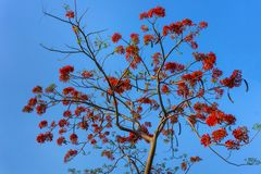 Branch of Gulmohar flowers or peacock flowers Royalty Free Stock Photo