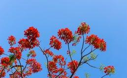 Branch of Gulmohar flowers or peacock flowers Stock Image