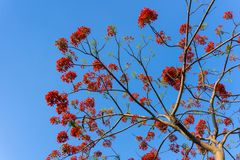 Branch of Gulmohar flowers or peacock flowers Stock Photography