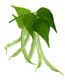 Branch of haricot bean Phaseolus vulgaris, path. Hanging haricot bean Phaseolus vulgaris pods with leaves. Clipping path Stock Photo