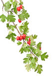Branch hawthorn  with leaves and berry Royalty Free Stock Photo