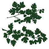 Branch of hawthorn Royalty Free Stock Photography