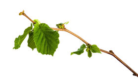 Branch of hazel Stock Photography