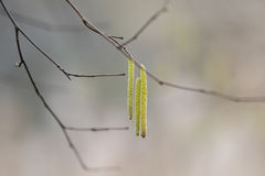 Branch with hazel Royalty Free Stock Photography