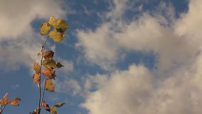 A branch of hazel with yellowing leaves and a blue sky with cumulus clouds. A branch of hazel with yellowing leaves swaying in the autumn wind against the stock footage