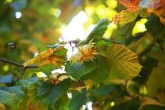 Branch with Italian hazelnuts Royalty Free Stock Photos