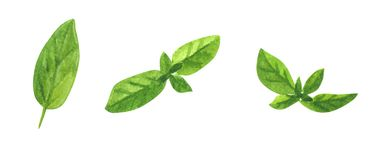 Branch of herb, mint, watercolor clip art royalty free illustration