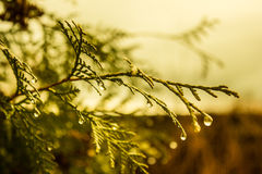 The branch here with the droplets of rain water Stock Image