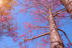 Branch of Himalayan Cherry Blossom , also call sakura pink color with blue sky background Royalty Free Stock Image