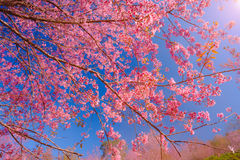 Branch of Himalayan Cherry Blossom , also call sakura pink color with blue sky background Stock Images