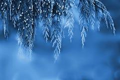 Branch of Himalayan cypress Royalty Free Stock Photos