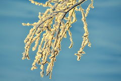 Branch in hoarfrost. The branch of a birch became covered with white hoarfrost in December Royalty Free Stock Images