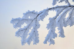 Branch in hoarfrost Stock Images