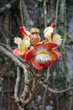 Branch holding large blooms of Cannon ball tree on soft blurred royalty free stock photography