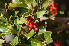 Branch of holly Stock Photo