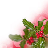 Branch of holly Stock Photography