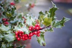 Branch of Holly Leaves and Berries Stock Photos