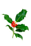 Branch holly leaves with red berries. stock images
