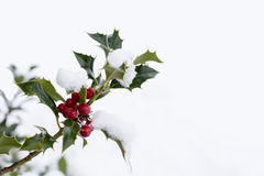 Branch of holly with red berries Royalty Free Stock Photography
