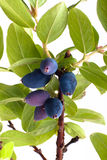 Branch of honeysuckle with fresh blue berries Stock Image