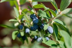 A branch of honeysuckle with ripe blue berries royalty free stock photo
