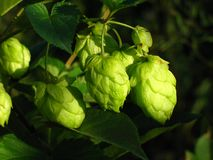 Branch of hop. Stock Images
