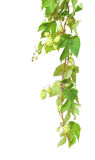 Branch of hop Stock Photos