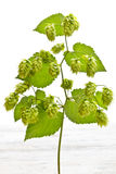 Branch of hop Royalty Free Stock Photography