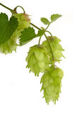 Branch of hop Stock Photography