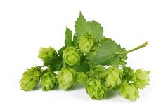Branch of hop with cones and leaves Humulus lupulus Royalty Free Stock Photography