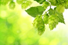 Branch of hop with cones and leaves Humulus lupulus. On green natural background Stock Photos