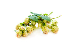 Branch of hop with cones. Royalty Free Stock Images
