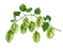 Branch of hop with leaves isolated on white background. With clipping path stock images
