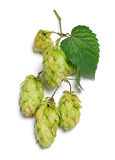 Branch of hop Royalty Free Stock Photo