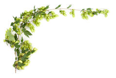 Branch of hop on white background Stock Image