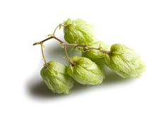 Branch of hop on white background Stock Photos