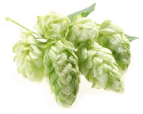 Branch of hops. Royalty Free Stock Images
