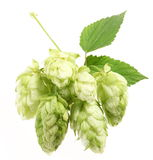 Branch of hops Stock Photos