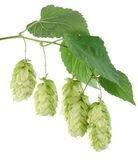 Branch of hops. On a white background Stock Images