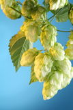 Branch of hops. Royalty Free Stock Photo
