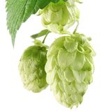 Branch of hops. Stock Images