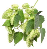 Branch of hops. Royalty Free Stock Image