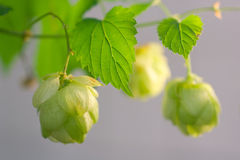 Branch of hops Royalty Free Stock Image