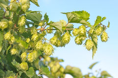 Branch of hops. stock image