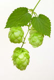 Branch of hops stock photography