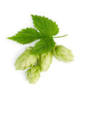 The branch of hops stock photos